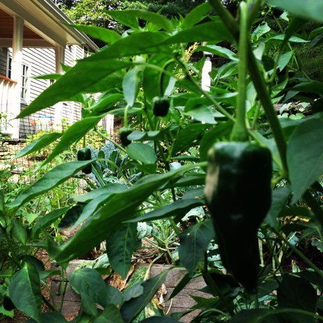 Peppers — from mild to hot!